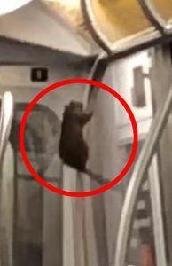 New York City Stripper Rat